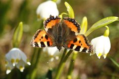 Aglais urticae. Butterfly on snowflakes in spring Royalty Free Stock Image