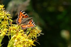 Aglais urticae. Butterfly Aglais urticae on a summer day, Europe Royalty Free Stock Image