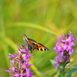 Aglais urticae butterfly. Typical butterfly of middle european fields and meadows Stock Images