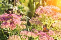 Aglais urticae, den lilla sköldpadds- fjärilen på rosa färger blommar, härlig naturlig bakgrund med fjärilen i trädgård arkivbild
