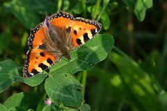 Aglais urticae Royalty Free Stock Photo