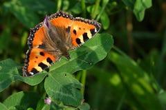 Aglais urticae. Is a European daily butterflies Royalty Free Stock Photo