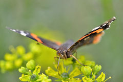 Aglais urticae. Front view. Front view of Aglais urticae is the small tortoiseshell  is a colourful Eurasian butterfly in the family Nymphalidae. (selective Stock Images