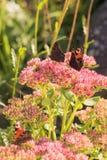 Aglais urticae, Mały Tortoiseshell motyl na menchiach kwitną, Piękny naturalny tło z motylem w ogródzie Zdjęcia Royalty Free