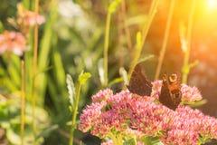Aglais urticae, Mały Tortoiseshell motyl na menchiach kwitną, Piękny naturalny tło z motylem w ogródzie Fotografia Royalty Free