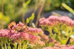 Aglais urticae, Mały Tortoiseshell motyl na menchiach kwitną, Piękny naturalny tło z motylem w ogródzie Zdjęcia Stock