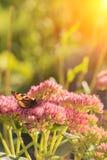 Aglais urticae, Mały Tortoiseshell motyl na menchiach kwitną, Piękny naturalny tło z motylem w ogródzie Zdjęcie Royalty Free