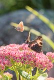 Aglais urticae, Mały Tortoiseshell motyl na menchiach kwitną, Piękny naturalny tło z motylem w ogródzie Obraz Stock