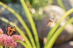 Aglais urticae, Mały Tortoiseshell motyl na menchiach kwitną, Piękny naturalny tło z motylem w ogródzie Obrazy Stock