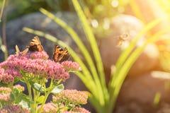 Aglais urticae, Mały Tortoiseshell motyl na menchiach kwitną, Piękny naturalny tło z motylem w ogródzie Obraz Royalty Free