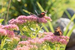 Aglais urticae, Mały Tortoiseshell motyl na menchiach kwitną, Piękny naturalny tło z motylem w ogródzie Fotografia Stock