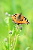 Aglais urticae motyli na kwiacie Obraz Stock