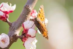 Aglais urticae na Morelowym kwiacie Obrazy Stock