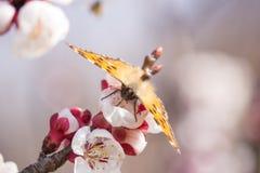 Aglais urticae na Morelowym kwiacie Fotografia Stock