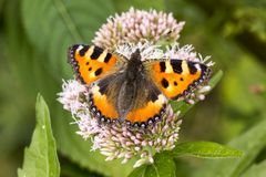 Aglais urticae, Nymphalis urticae, Small Tortoiseshell butterfly Stock Images