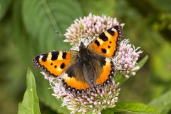 Aglais urticae, Nymphalis urticae, Small Tortoiseshell Stock Photo