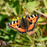 Aglais urticae Stock Photography