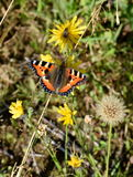 Aglais urticae. The Small Tortoiseshell butterfly Aglais urticae on a flower Stock Images