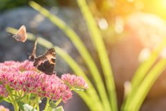 Aglais urticae, Small Tortoiseshell butterfly on pink flowers, Beautiful natural background with butterfly in garden.  Stock Photo