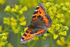 Aglais urticae. Is the small tortoiseshell  is a colourful Eurasian butterfly in the family Nymphalidae Stock Photography