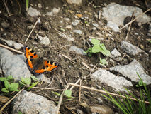 Aglais urticae in South Tyrol Royalty Free Stock Photography