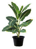 Aglaonema, природа зеленого завода дерева лист свежая Стоковые Изображения RF