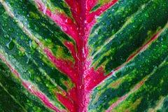 Aglaonema, природа зеленого завода дерева лист свежая Стоковое Изображение