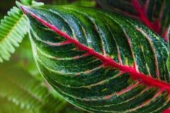 Aglaonema, природа зеленого завода дерева лист свежая Стоковые Фото