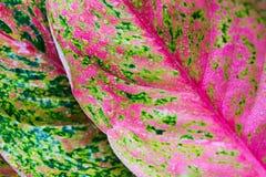 Aglaonema, природа зеленого завода дерева лист свежая Стоковые Фотографии RF