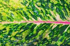 Aglaonema, природа зеленого завода дерева лист свежая Стоковое фото RF