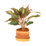 Aglaonema Obrazy Royalty Free