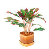 Aglaonema Obraz Stock