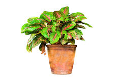 Aglaonema Obraz Royalty Free