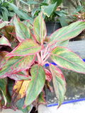 Aglaonema Photo stock