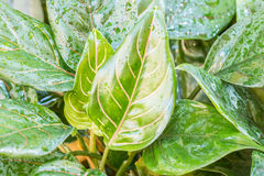 Aglaonema (Araceae). Leaves with water droplets, for a background Royalty Free Stock Image