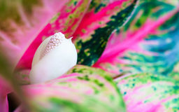 Aglaonema , Chinese Evergreen Plant flower close up Stock Images