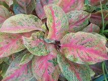 Aglaonema commutatum rośliny Zdjęcia Stock