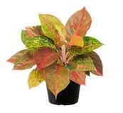Aglaonema, een liść drzewnej rośliny świeżą naturę Obrazy Royalty Free