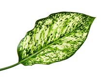 Aglaonema foliage, Spring Snow Chinese Evergreen, Exotic tropical leaf, isolated on white background with clipping path Royalty Free Stock Photo