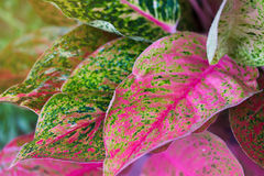 Aglaonema, Green leaf tree plant fresh nature Royalty Free Stock Photos
