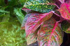Aglaonema, Green leaf tree plant fresh nature Royalty Free Stock Images