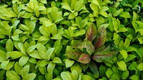Aglaonema i Philodendron Arkivfoton