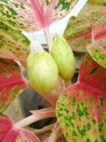 Aglaonema kwiat Zdjęcia Stock