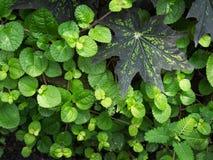 Aglaonema modestum w Zielonych liściach Zdjęcia Stock