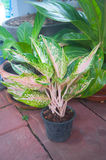 Aglaonema piękna roślina Obrazy Royalty Free