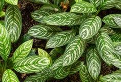Aglaonema piękna Szmaragdowa roślina Obraz Stock