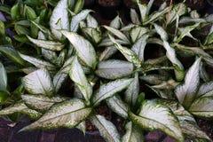 Aglaonema Plant Chinese evergreen Royalty Free Stock Photo