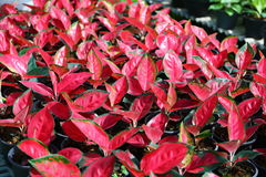 Aglaonema Plant Chinese evergreen Royalty Free Stock Photography