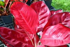Aglaonema Plant Chinese evergreen Stock Image