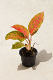 Aglaonema Plant in pot Royalty Free Stock Image